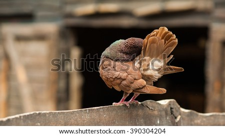 Rare red colored domestic pigeon cleaning her feathers in the rural farm courtyard
