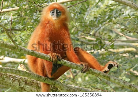 Rare Red or Maroon Leaf Monkey (Presbytis rubicunda) in the jungles of Borneo. This is a beautiful and brightly coloured Langur species. Here, a large and dominant male watches over his troop. - stock photo
