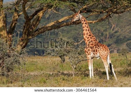 Rare Rothschilds giraffe (Giraffa camelopardalis rothschildi), Lake Nakuru National Park, Kenya - stock photo