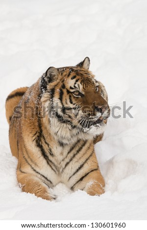 Rare Siberian Tiger running in snow
