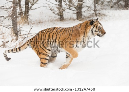 Rare Siberian Tiger running in snow - stock photo