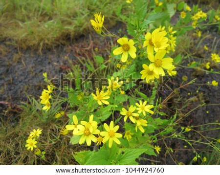 Rare species yellow wild flowers kaas stock photo safe to use rare species of yellow wild flowers at kaas plateau satara in maharashtra india mightylinksfo