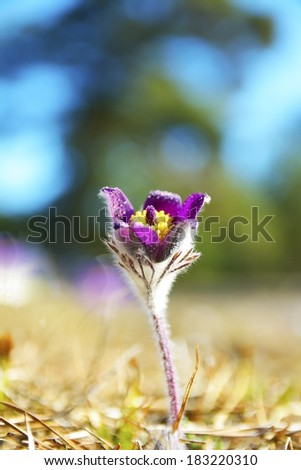 Rare Spring Flower Pulsatilla  montana - stock photo