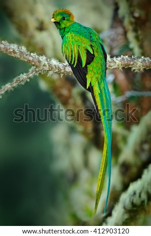 Rare tropic bird from mountain cloud forest. Resplendent Quetzal, Pharomachrus mocinno, magnificent sacred green bird with very long tail. Exotic bird from Guatemala, Central America - stock photo