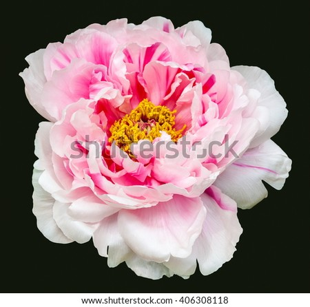 Rare type peony on black background.   - stock photo