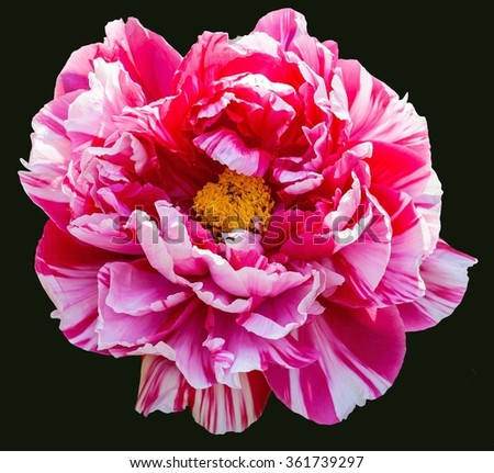 Rare type peony on black background. The flower`s Chinese name is erqiao.
