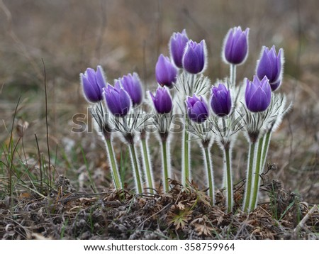 Rare violet Pasque Flower blooming on spring meadow - stock photo
