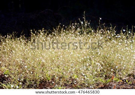 Rare white flax in Sequoia National Park backlighted