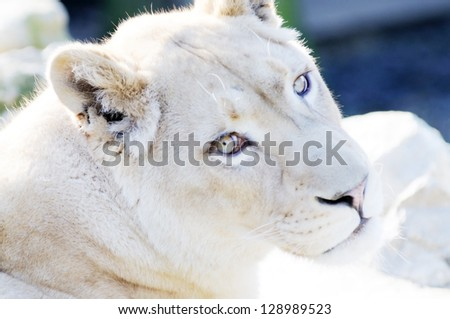Rare white lion female closeup showing face and fur detail