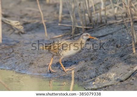 Rare Winter Visitor Bird : Eastern Water Rail eating small shrimp near small pond   - stock photo