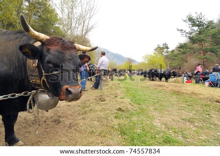 RARON, SWITZERLAND - APRIL 3: a fighting cow waits to fight in the Raron cow fighting championships. April 3, 2010 in Raron, Switzerland - stock photo