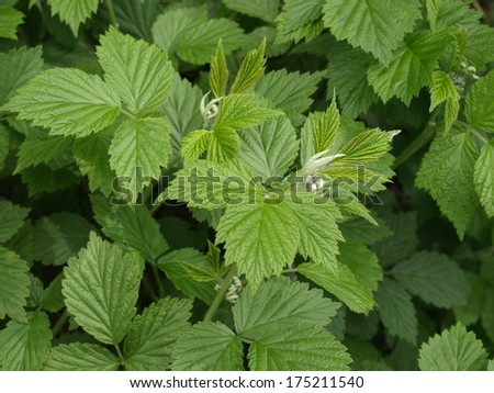 raspberry bush with leaves  - stock photo