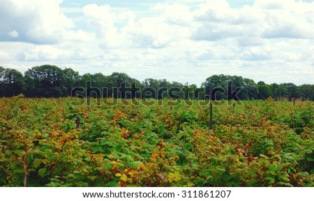 Raspberry field at a farm in Ontario, Canada
