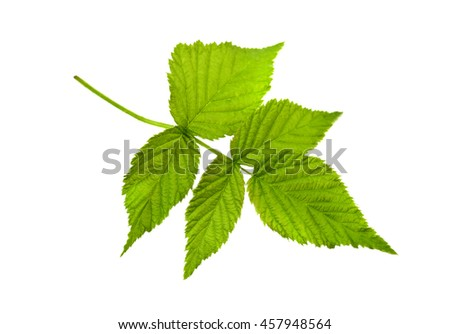 raspberry leaf isolated on white - stock photo
