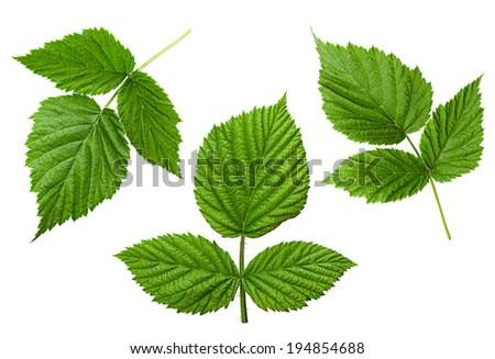 Raspberry leaf set isolated on white - stock photo