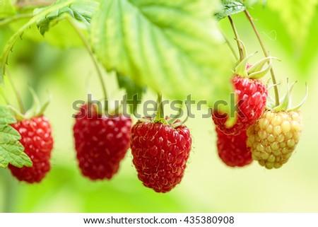 Raspberry plant - stock photo