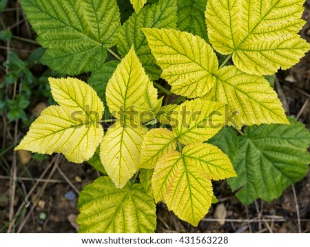 Raspberry plant with yellow leaves, green veins. Nutrient deficiency. Probably lack of iron. Gardening problem. - stock photo