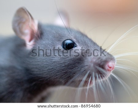 Rat. A macro closeup of a female rat's head. - stock photo