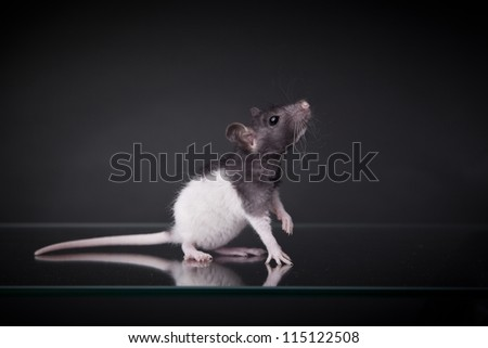 Rat decorative