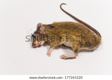 Rat die on white background, Blood