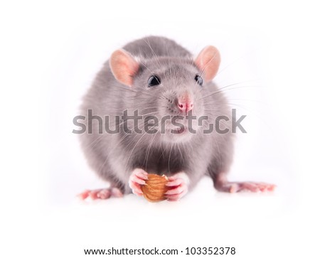 Rat eating almonds isolated - stock photo