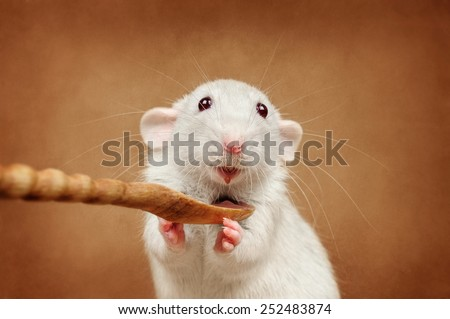 Rat eating from a spoon - stock photo
