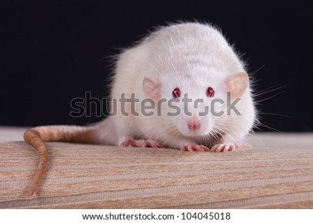 Rat in front of a black background - stock photo