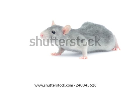 rat isolated on the white background - stock photo
