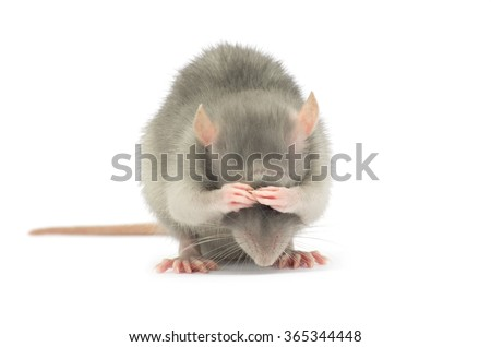 rat isolated on the white background - stock photo