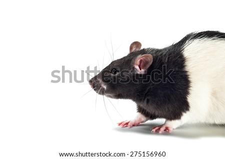 rat, isolated on white - stock photo