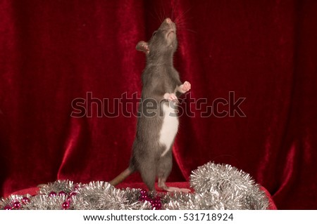 Rat on red velvet background stands on back legs and looks up