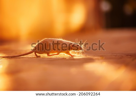 Rat runs on solar path - stock photo
