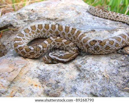 Rat Snake, Pantherophis emoryi - stock photo