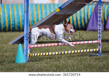 Rat Terrier at Leaping Over a Jump at a Dog Agility Trial - stock photo