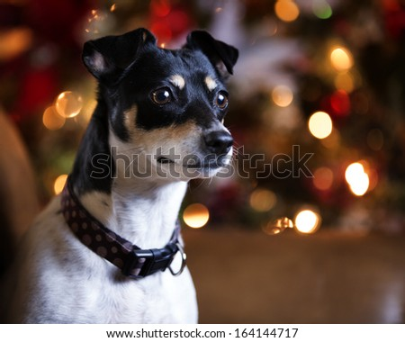 Rat terrier dog on couch by Christmas tree