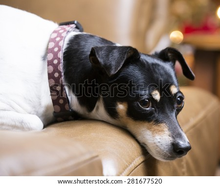 Rat Terrier dog resting on couch with his head hanging over the cushion - stock photo