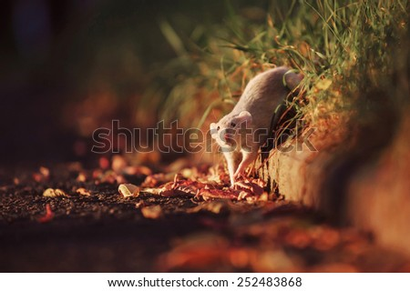 Rat walking on the street - stock photo