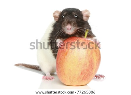 Rat with a big apple on a white background - stock photo