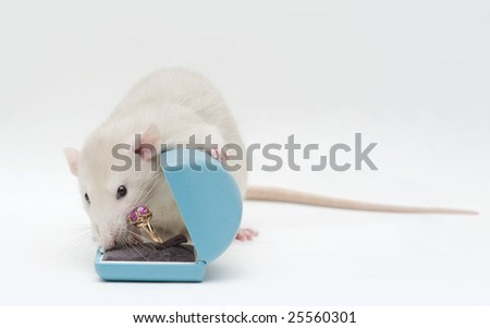 Rat with a ring - stock photo