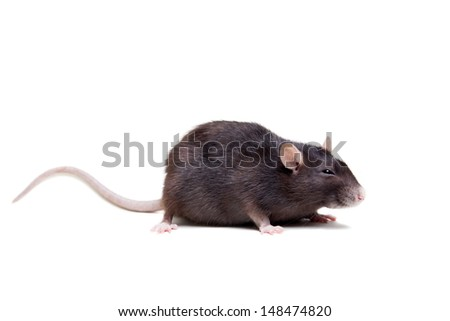 Rat, 3 year old, isolated on the white background - stock photo