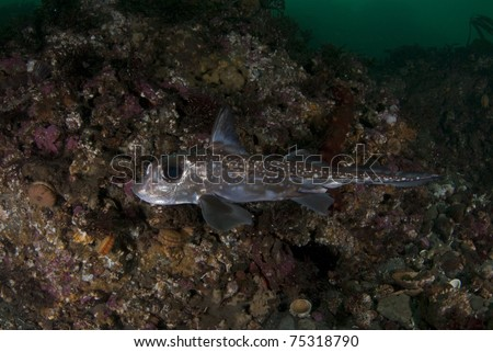 Ratfish (Hydrolagus colliei) swims through the cold Pacific Northwest waters of the Puget Sound. - stock photo