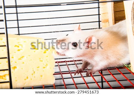 Rats in a cage eat a big piece of cheese