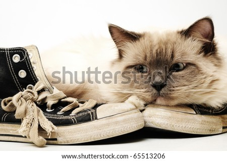 Ratty, old, worn out canvas sneakers with white background and a Ragdoll cat