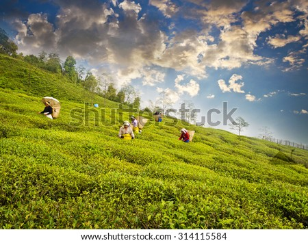 Ravangla, Sikkim , India, 27th May,2015 : A group of woman is picking up the fresh tea leaves from the popular Temi Tea Garden at Ravangla. The Temi Tea Garden in Ravangla, established in 1969. - stock photo