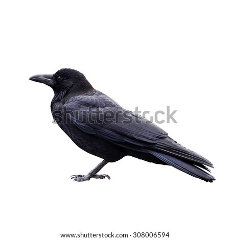 raven bird isolate on white background - stock photo