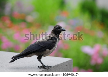Raven bird isolated on colorful background - stock photo