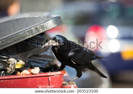 Raven feeding on rubbish in a city - stock photo