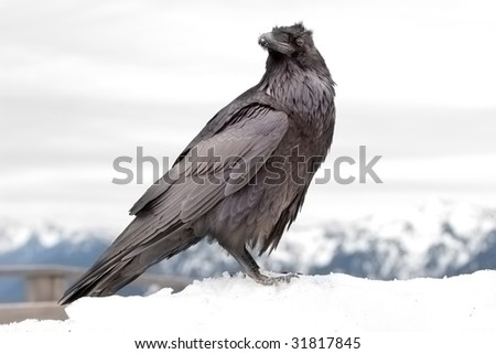 raven in winter - stock photo