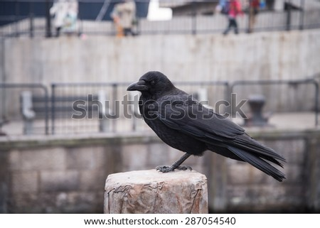 raven sitting on a stone. focus on head. - stock photo