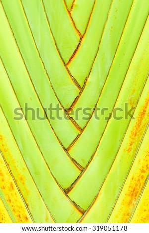 Ravenala madagascariensis Palm use for background - stock photo